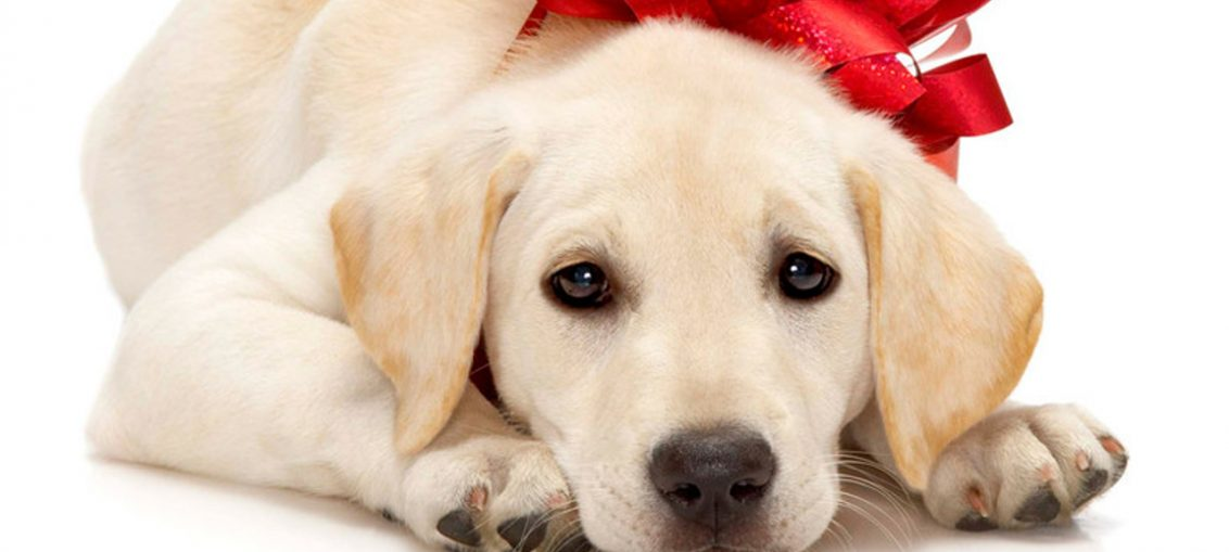 regala cucciolo di labrador a natale