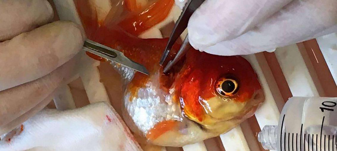 nemo il pesce rosso operato di tumore