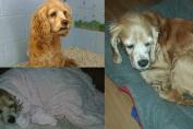 cambiano cane anziano con cucciolo più giovane
