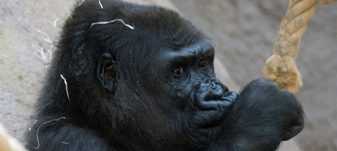 gorilla salva bambino