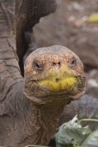galapagos tartaruga in via di estinzione