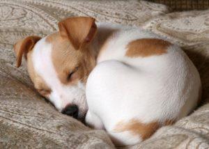 cane che dorme acciambellato