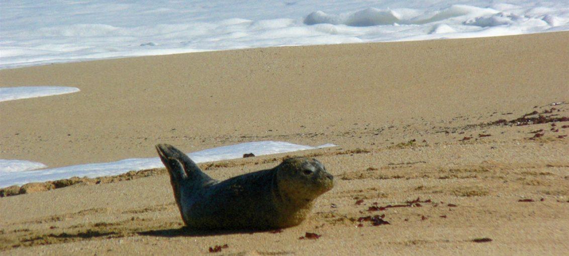 cucciolo di foca incastrato in una rete salvato da surfisti