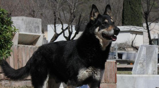 il cane capitan che rimane sulla tomba del padrone fino alla morte per 6 anni
