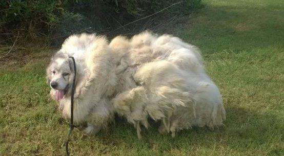 lazarus il cane pecora abbandonato in un fienile
