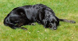 cane che dorme a pancia in giu