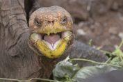 tartaruga diego ripopola le galapagos