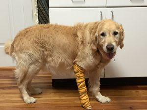Figo, an 8-year-old golden retriever, was crossing a street in Brewster with his legally blind owner, Audrey Stone, when a mini school bus approached the pair, CNN affiliate WCBS reported.