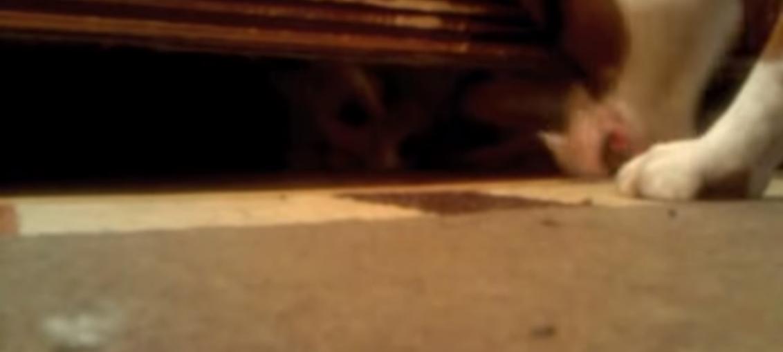 jack russell salvato da un boxer incastrato sotto il divano
