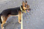 ziggy roma cane morto di overdose