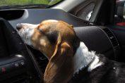 cane rimasto chiuso in auto