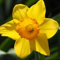 Fiore del Narciso