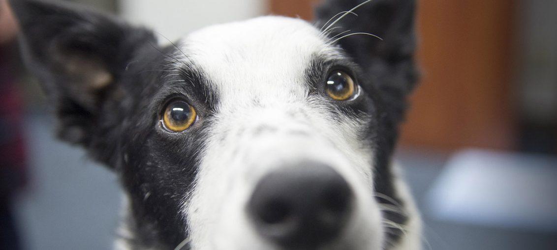 sapevate perchè i cani abbassano le orecchie